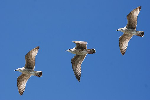 Gulls, Seagull, Wings, Feather, Sky