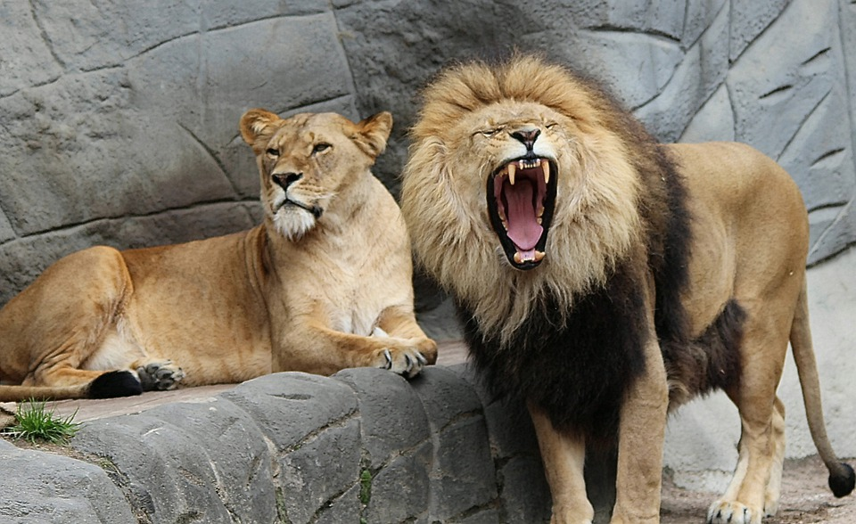 Lion Panthera Leo Lioness Animal - Free photo on Pixabay