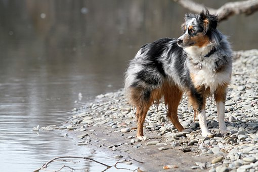 Dog, Australian Shepherd, Canine