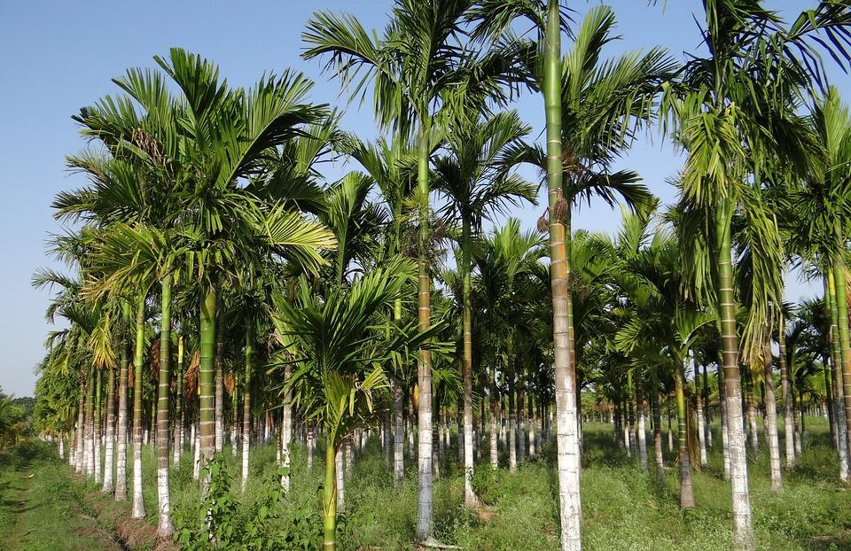 palmier a cachou