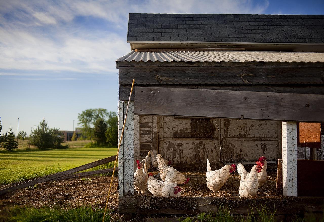 Chicken Coop Farm Chickens - Free photo on Pixabay