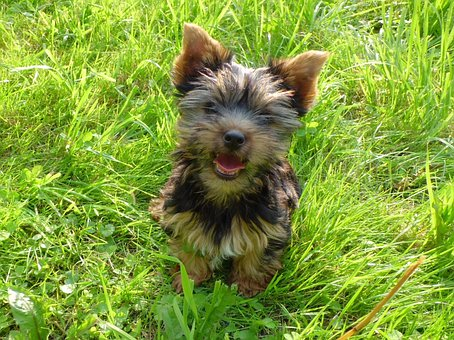 Teacup Yorkie Puppies for sale in Virginia