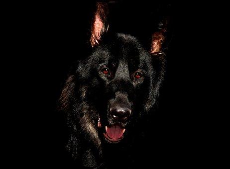 Alsatian, Black, Eyes, German Shepherd
