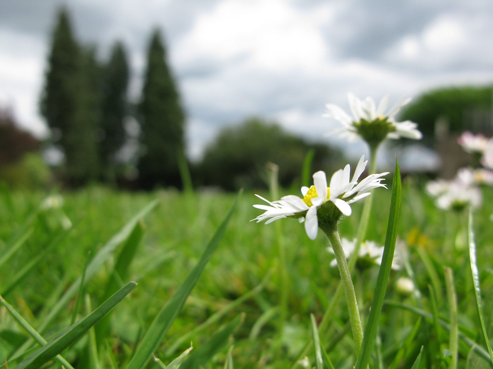 free photo daisy, flower, daisies, colorful  free image on, Beautiful flower
