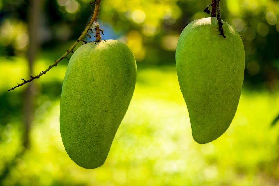 Mango, Mango Tree, Fruits, Fruit, Green Mango