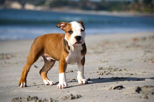 Puppy, Pitbull, Dog, Beach, Sand, Pet, smooth dog coat types