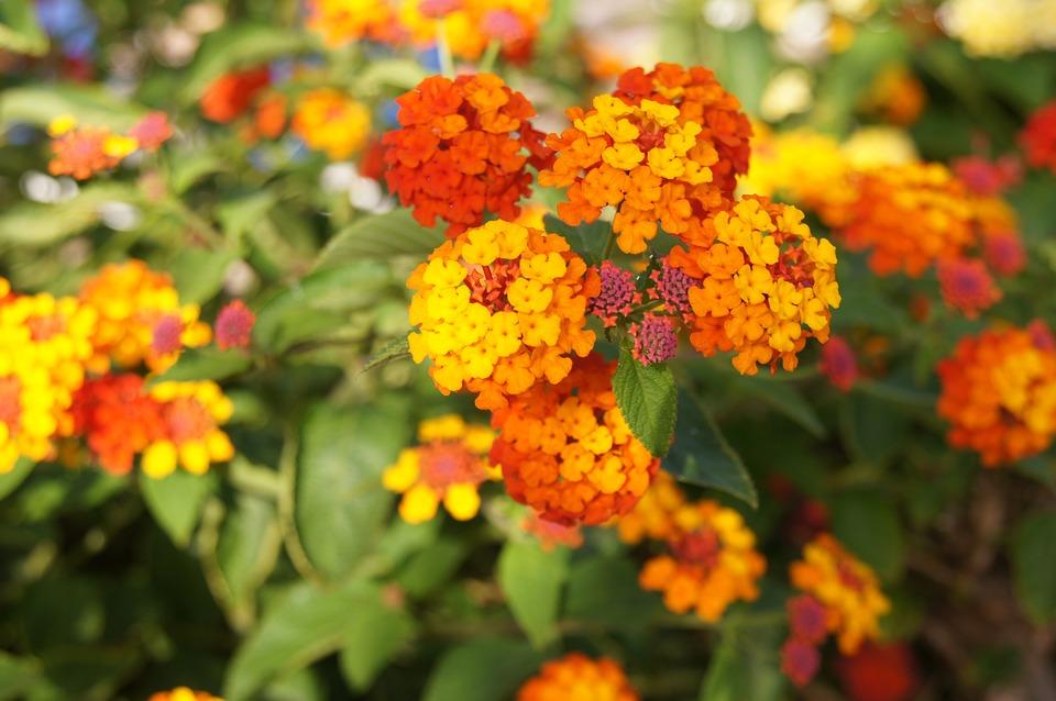 pianta fiori arancioni