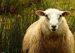 sheep, wool
