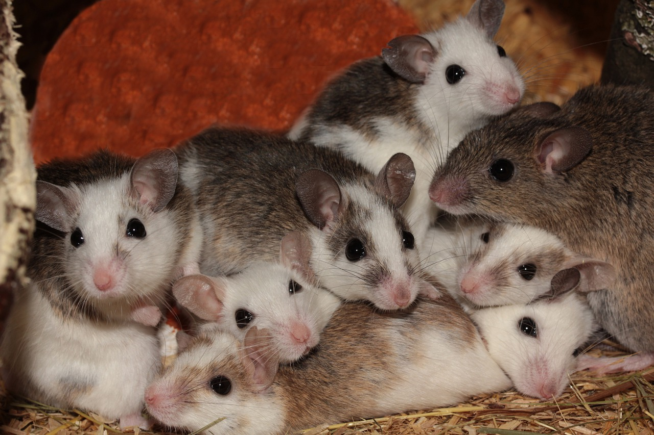 Домашние животные мышка картинки