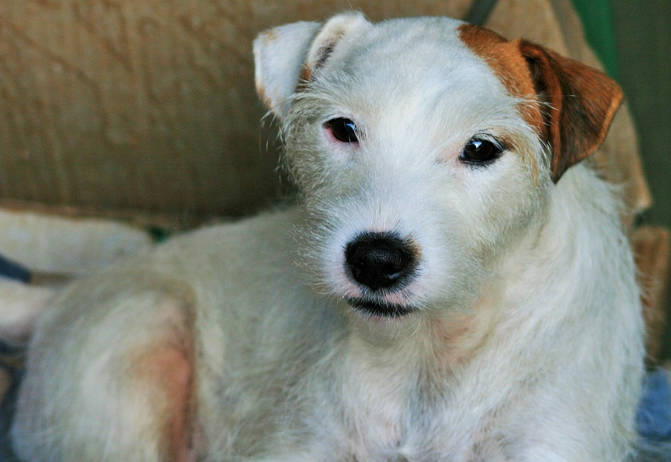 Jack Russell Cane White Terrier Jack Parson Russell