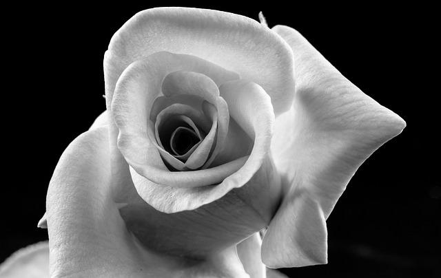 Foto gratis rosa fiore in bianco e nero immagine for Foto hd bianco e nero