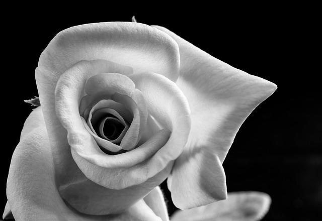 free photo rose flower blossom bloom free image on pixabay 346815. Black Bedroom Furniture Sets. Home Design Ideas