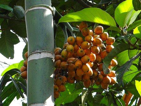 Areca Catechu, Areca Palm