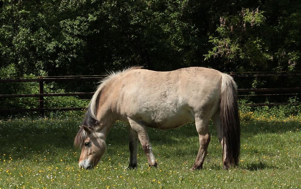 Norwegian Fjord Horse, Horse, Ungulate, Mount