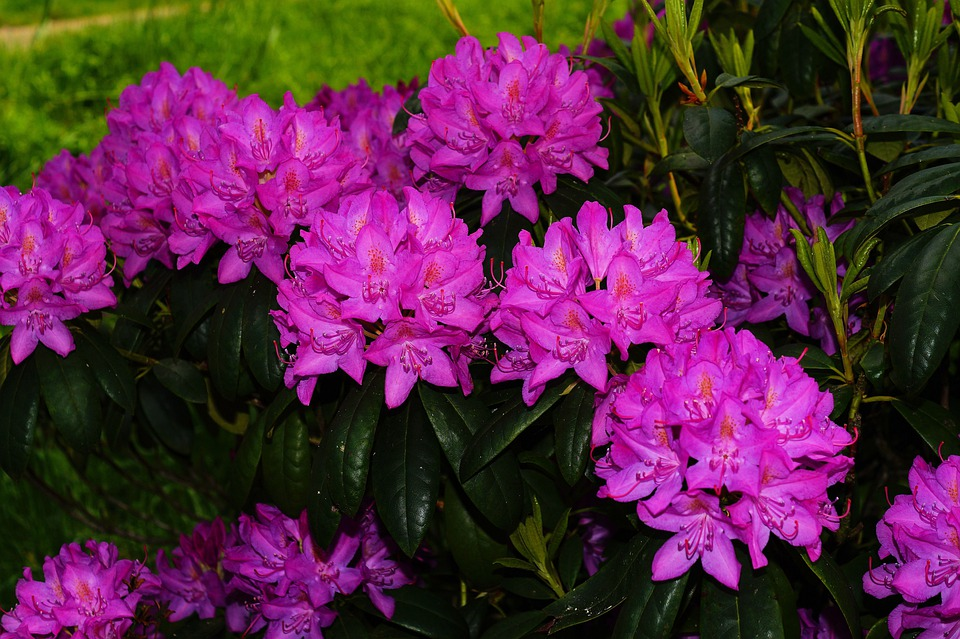 kostenloses foto rhododendren bl ten busch lila kostenloses bild auf pixabay 347099. Black Bedroom Furniture Sets. Home Design Ideas