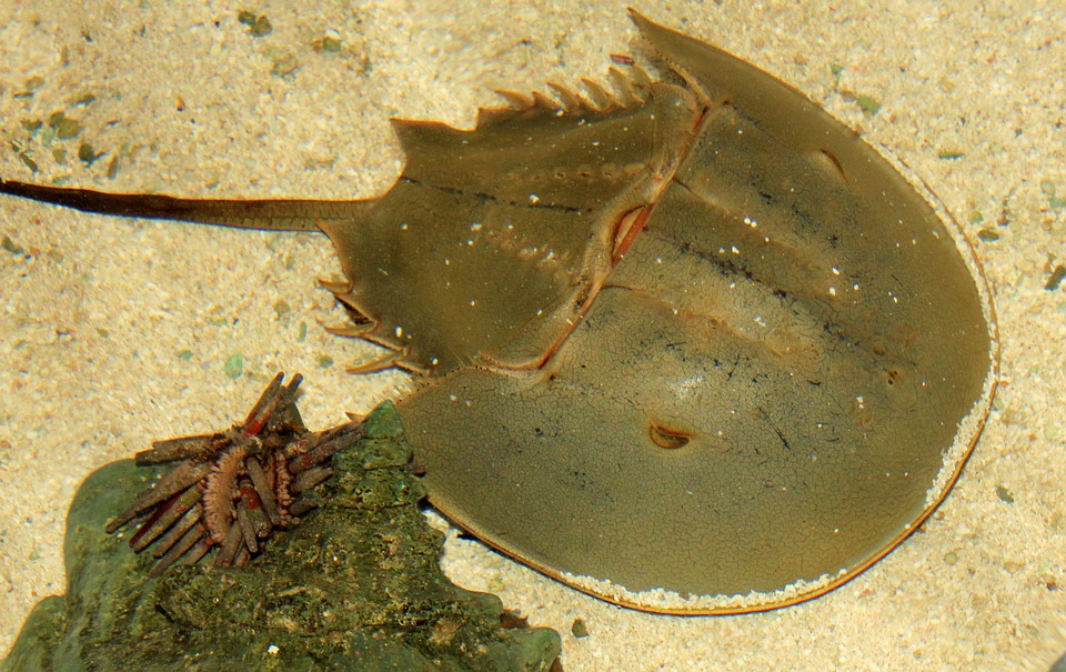 Horseshoe Crab, Sea Life, Crustacean, Sea, Marine