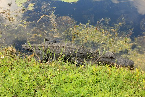 Everglades, Alligator, Crocodile, Usa