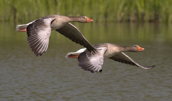canada geese images pixabay download free pictures