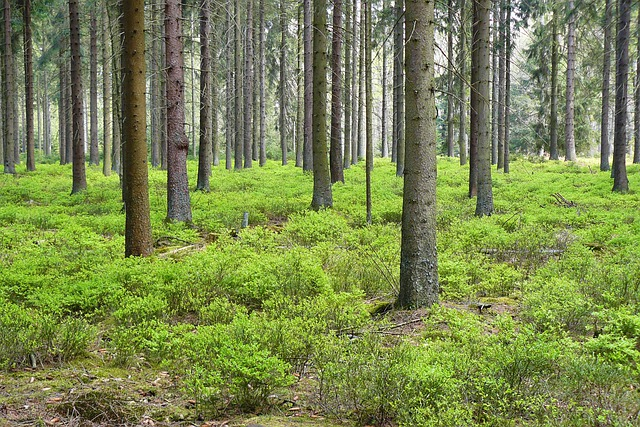 Free Photo Forest Pine Forest Trees Spruce Free