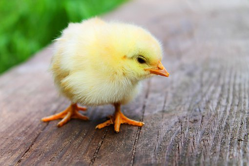 Easter, Chicks, Baby, Beautiful, Sweet