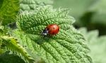 ladybug, macro, lucky charm