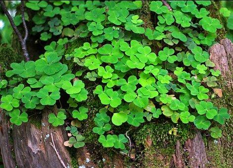 Forest Clover, Klee, Sorrel, Plant