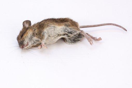 マウス, 木マウス, アカネズミSylvaticus, 死者, 死んだマウス