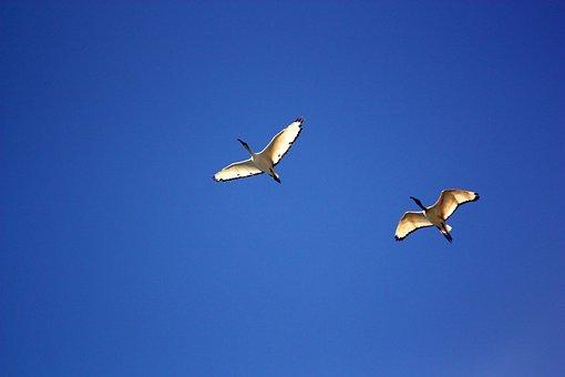 Bird, Birds, Ibis, Flight, Ala, Stork