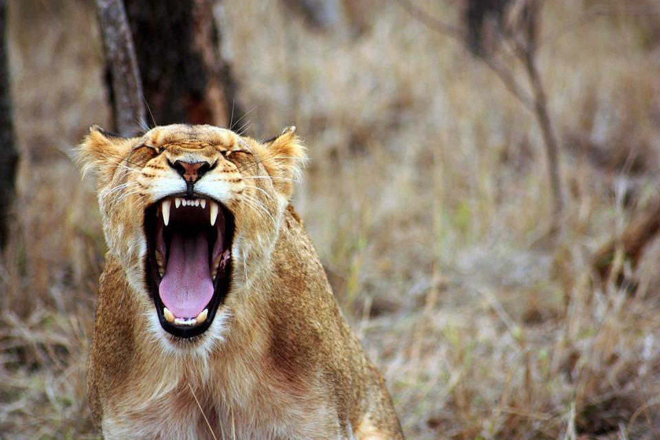 ライオン, 動物, サバンナ, 雌ライオン, サファリ, 野生, 自然, 夏, 動物相, 黄色, 轟音