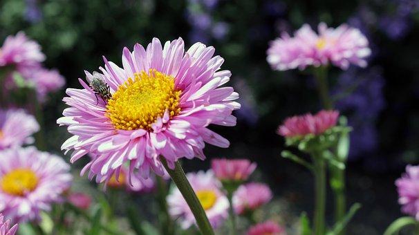 Fleurs, Coloré, Rose, Printemps, Mouche