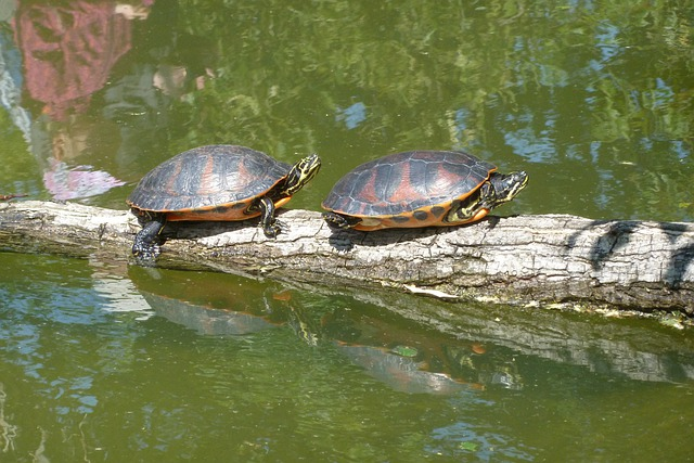 Free photo turtles sun pond animal reptile free for Pond animals