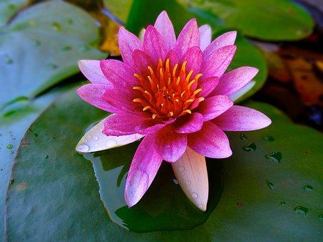 Lotus, Tó, Tavirózsa