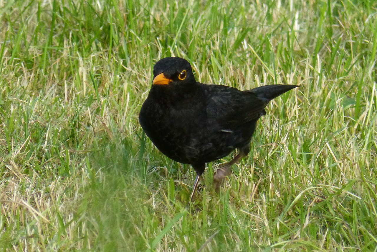 black-robin-pictures