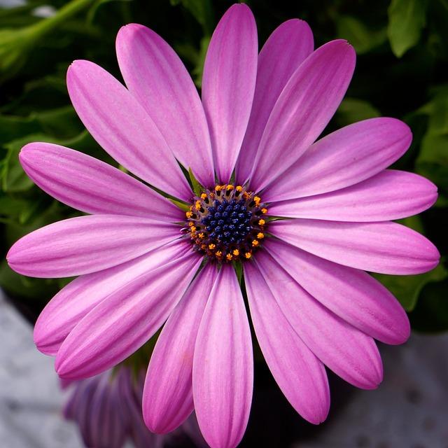 Free Photo Pink Flower Blue Center Free Image On