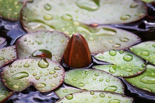 Water Rose, Lotus, Lotus Blossom