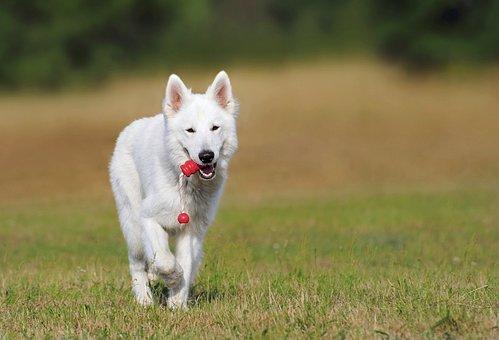 Swiss Shepherd Dog, Dog, White, Animal