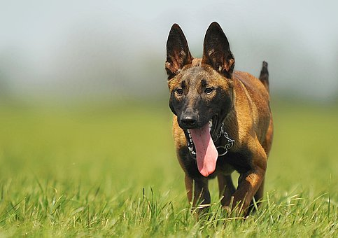 Malinois, Dog, Animal, Animal Portrait
