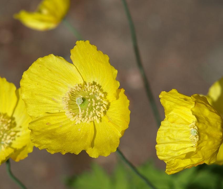 Yellow poppy flower free photo on pixabay yellow poppy poppy poppy flower close up pistil mightylinksfo