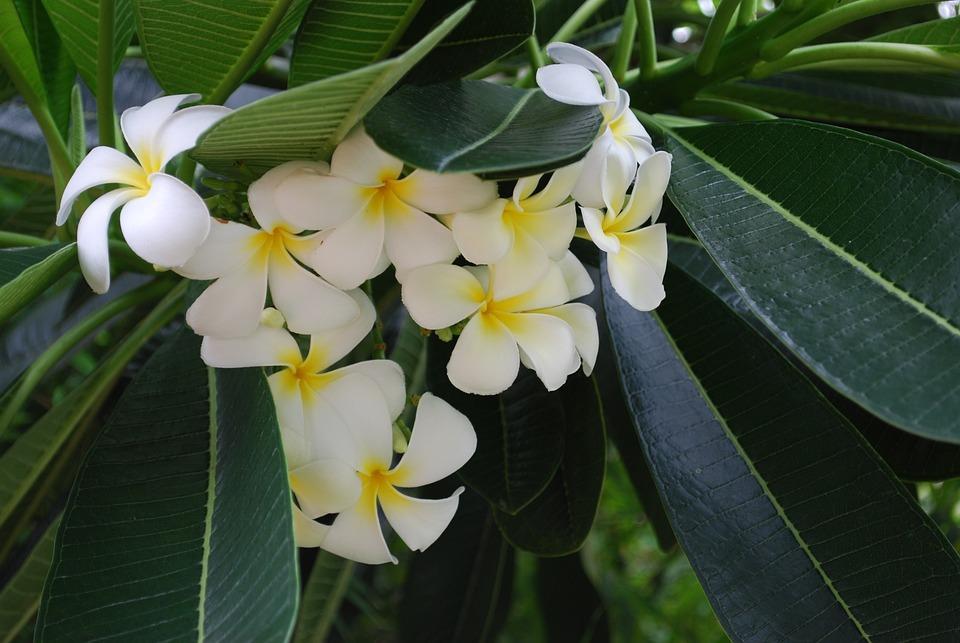 Flowers tropical plants closeup free photo on pixabay flowers tropical plants closeup white white flowers mightylinksfo