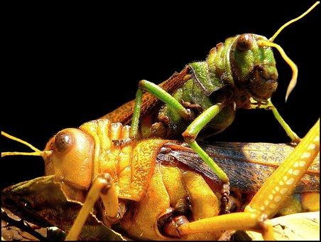 Heuschrecken, Grashüpfer, Insekt
