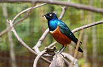 superb, glossy, starling