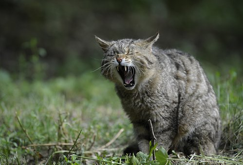 Wildcat, Animal, Nature, Cat, Natural