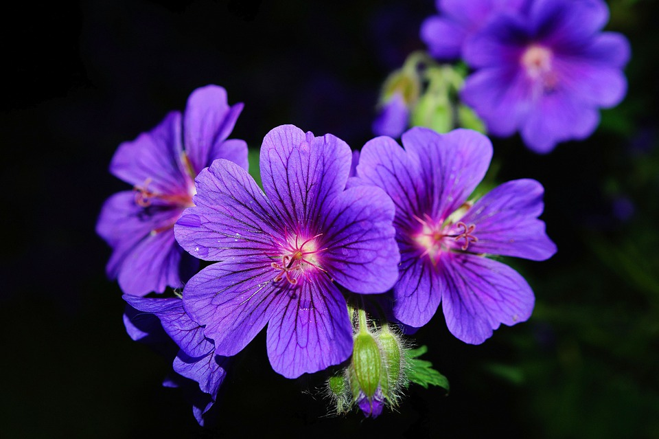 Free photo flower blossom bloom blue free image on for A flower that only blooms at night