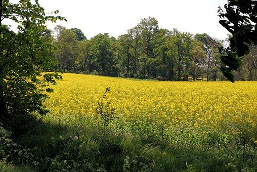 Rape Field, Oilseed Rape