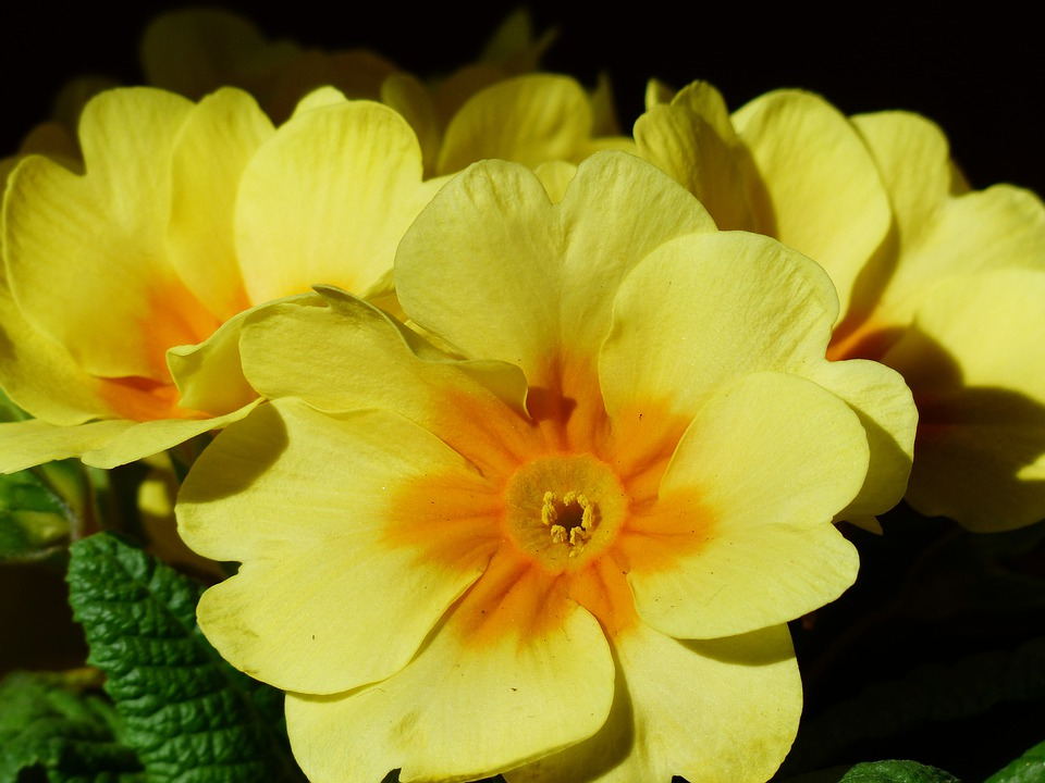 Primrose flower blossom free photo on pixabay primrose flower blossom bloom yellow primula mightylinksfo