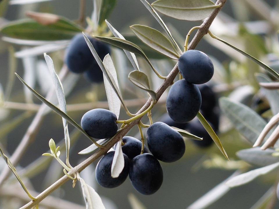 Olive, Ramo D'Olivo, Frutta, Olivo, Impianto