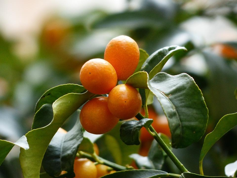 Quinotos, Árbol, Rama, Hojas, Frutas, Fortunella