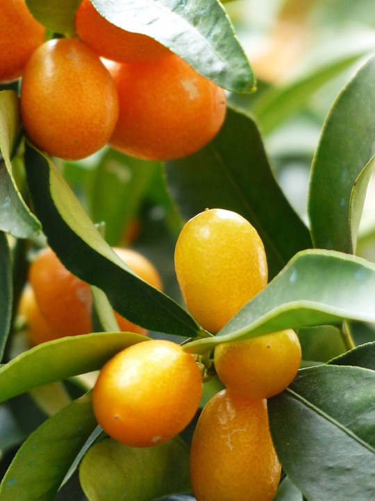 kumquats tree branch free photo on pixabay