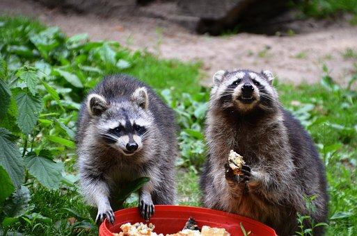 Raccoon, Güstrow, Eco-Park, Food, Eat