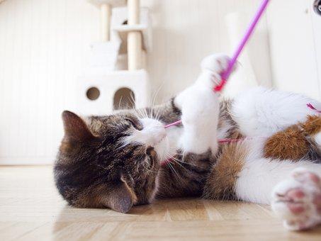Katze, Kater, Haustier, Katzen, Mieze